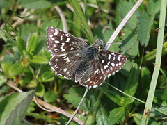Grizzled Skipper - Queendown Warren - IMG_5307 (mikehook51) Tags: avian butterfly bbcspringwatch common chalkland canoneos7dmk11 digital england fauna flora grassland grass grizzledskipper kent kentwildlifetrust kwt lepidoptera local may nature naturereserves plants queendownwarren queendownwarrenkwt queendownwarrenkentwildlifetrust reserve sunshine spring uk wildlife winged