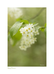 Spring Blossom (Janny.K) Tags: ngs zoomnl naturalbeautyphotos manuallensdigitalcamera christabellesflowersgroup flickrtoday photofacts canonphotography canon80d ~ afloweraday simplybrilliant ✿flowers✿ vintageoptica m42 porst55mmf14 sarasgarden ngww wideopen