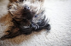 21/52 - Hello There! (Kirstyxo) Tags: teddy cute dog 2152 52weeksfordogs 52weeksfordogs2018 52weeksfordogs18