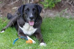 COLABO (HDRforEver) Tags: collie labrador boxer dogs dog mischling new interesting summer 2018 canon 5d mark3 markiii owl ostwestfalen germany deutschland nrw nordrheinwestfalen