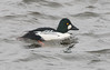 Common Goldeneye (vischerferry) Tags: commongoldeneye goldeneye duck river hudsonriver newyorkstate bucephalaclangula waves