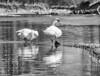 Ach, halt doch den Schnabel! (Tomsch) Tags: birds vögel schwan schwäne swan swans couple blackandwhite schwarzweiss water wasser river fluss ybbs mostviertel austria österreich niederösterreich loweraustria nature natur