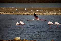 Flamingo flying at Sigean (PakoGONZO) Tags: flamingo bird flamenc flamenco wildlife nature outdoor canon canon6d capture