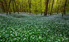 Garlic galore (snowyturner) Tags: garlic woods forest trees spring flowers carpet cornwall duloe branches fresh panorama