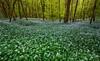 Garlic galore (snowyturner) Tags: garlic woods forest trees spring flowers carpet cornwall duloe branches fresh panorama