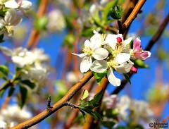 Spring time (2) (Mahmoud R Maheri) Tags: bloso flower iran kerman bahramjerd spring tree branch green