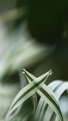 *** (pszcz9) Tags: przyroda nature natura zbliżenie closeup kropla raindrop water liść leaf beautifulearth sony a77 bokeh