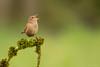 CHOCHÍN (Carlos Cifuentes) Tags: chochín carrizo troglodytestroglodytes wren carloscifuentes wildlife wildlifenature nature bird birds