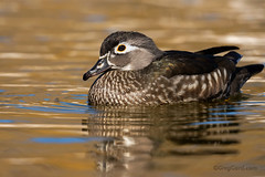 Female Wood Duck (Greg Gard) Tags: greggard gregorygard bird greggardcom wodu woodduck female hen adult duck waterfowl guide locationguide newyork ny pond golden gold water lake river swimming ebook