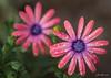 IMG_1660 (Aaron Burrows Photography) Tags: osteospermum africandaisy pinkflower flowerswithwaterdroplets flowerwithraindrops raindrop waterdroplets waterdrop waterdrops macrophotography macro macroflower