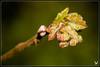 IMG_3310 (Celtycrow) Tags: printemps bourgeon feuilles branche coloré couleurs macro macrophotography