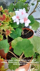 Geranium cutting (White with pink centre) flowering in pot on balcony table 22nd April 2018 (D@viD_2.011) Tags: geranium cutting white with pink centre flowering pot balcony table 22nd april 2018