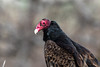 Spring is here (Brown Acres Mark (always 2 days behind)) Tags: turkeyvulture cathartesaura ashlandairport jacksoncounty oregon usa vulture markheatherington