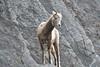_DSC9308 (barrypphotos) Tags: nature winter big horn sheep cliff banff national park