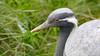 Caught you sleeping... (- A N D R E W -) Tags: crane demoiselle animal bird red eyes grass nature naturaleza canon 80d tamron 150600mm autumn otoño