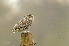 ..and the rain came down..... (Louise Morris (looloobey)) Tags: aq7i1616 athenenoctua littleowl wild perch tree field hide neil march2018 afternoon rain post perched