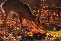 Pumpkin Spice for Breakfast (Goromo) Tags: deer whitetaileddeer buck antlers pumpkin autumn fall morningglow woods eating