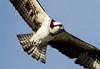 western osprey (Pandion haliaetus) (im2fast4u2c) Tags: western osprey pandion haliaetus seahawk riverhawk andfishhawk