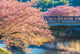 河津櫻 Kawazu Sakura / Shizuoka, Japan