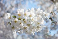 Cherry blossoms / 桜 (yanoks48) Tags: cherryblossom 桜 tokyo 東京 japan 日本 flower 花