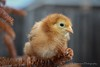 Relaxing! (K.Yemenjian Photography) Tags: chick chicks babychicks chicken rooster dof shallowofdepth depthoffield closeup macro canon birds bird details