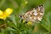 Pyrgus malvoides (Elwes & Edwards, 1897) (Jesús Tizón Taracido) Tags: lepidoptera hesperioidea hesperiidae pyrginae pyrgusmalvoides