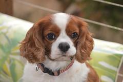 Jasper the Cavalier King Charles Spaniel. (Urban and Nature OZ) Tags: cavalierkingcharlesspaniel dog pet dogs cavaliers spaniels blenheimcoat