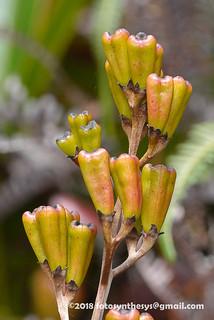 Nepenthes pervillei DSC_2207