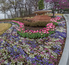 Tulip time in Tulsa (Pejasar) Tags: tulip blooms blossoms flowerbed tulsa oklahoma pano panoramic