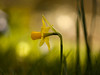 Sunday Greetings from my Garden (ursulamller900) Tags: helios442 narcissus narzisse yellow bokeh mygarden flower spring frühling daffodil