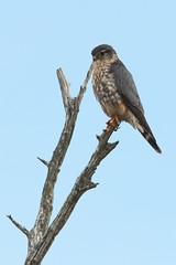 Merlin (Carlos Carreras) Tags: birds bird birdsofprey birdofprey newjersey nature nj njshore njbirds merlin gatewaynationalrecreationarea sandyhook