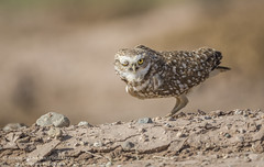Burrowing Owl, Salton Sea, CA. (Shane Keena) Tags: burrowingowl ow nature naturalworld birdphotography bird birds birdsofprey birdlife saltonsea californiawildlife