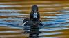 Ring-necked Duck (Eric Gofreed) Tags: britishcolumbia canada duck ringneckedduck vancouverisland