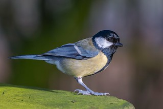 Great Tit.....