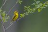 Singing Prairie (PhillymanPete) Tags: song songbird singing setophagadiscolor nature bird leaf wildlife warbler spring prairiewarbler migration perch southamptontownship newjersey unitedstates us