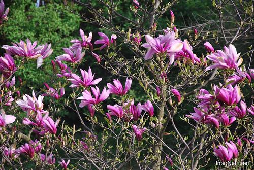 Ботанічний сад імені Гришка Цвітуть магнолії InterNetri  Ukraine 175