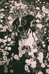 Faithfulness (mripp) Tags: art vintage retro old flowers black white mono monochrom schwarz weiss sony rx1rii irregularity dog animal pet