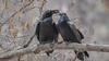 Common Raven (Corvus corax) (ER Post) Tags: bird californiafebruary2018 commonravencorvuscorax nationalpark park trips usanationalpark yosemitenationalpark