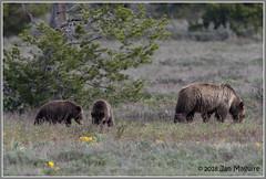 Grizzly Family 0056 (maguire33@verizon.net) Tags: grandtetonnationalpark grizzly grizzlybear bear mother motherhood springtime wildlife moran wyoming unitedstates us 793 blondie cub
