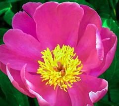 Pioenroos . (Franc Le Blanc .) Tags: pioenroos flower bloem garden tuin lente flora