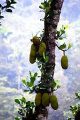 Munnar: Jack Fruit (deepgoswami) Tags: india kerala munnar westernghats jackfruit