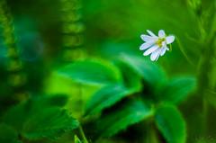 White flower (mirosławkról) Tags: poland grass field tree white flowers florescence blossom pentaconav8028 pentax bokeh bubbles biebrza green