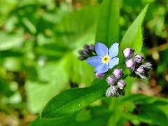 Wild Flowers - Finland (Sami Niemeläinen (instagram: santtujns)) Tags: joensuu suomi finland luonto nature kukka flower flora wildflower metsäkukkia kuhasalo pohjoiskarjala north carelia kasvi