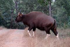 Indian Bison at Betla National Park (pallab seth) Tags: indianbison nature wild nationalpark gaur bull running forest betla jharkhand imdia ature palamou evening india animal jeepsafari