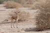 Gazella dorcas baby (Dave 5533) Tags: gazelladorcas gazelle animal animalplanet naturephotography nature outdoor wildlifeinisrael wildlifephotography wildlife mammals mammal canoneos1dx canonef300mmf28 ngc canon1dx npc