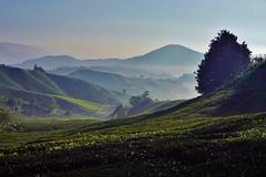 Cameron Highlands - Boh Tea Plantation 7 (luco*) Tags: malaisie malaysia cameron highlands boh tea plantation thé collines montagnes hills mountains flickraward flickraward5 flickrawardgallery