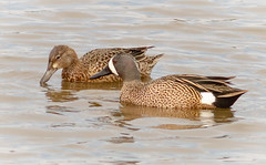 Blue-winged Teal Pair (tresed47) Tags: 2018 201804apr 20180412bombayhookbirds april birds bluewingedteal bombayhook canon7d content delaware ducks folder peterscamera petersphotos places season spring takenby teal us