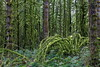 5K8A8295pf (Alex_533) Tags: vancouvercanada landscape outdoors rainforest wildnature nationalpark wetforest green mossy trees greenmoss leaves plants springtime bush fern goldenears provincialpark vancouver britishcolumbia canada