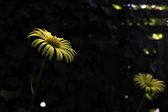 Highligted (kaffealskare) Tags: vintagelens vivitar28mmf28 flowers highlights bokeh manualfocus fuji xt20 softfocus