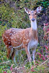 Chital at Betla National Park (pallab seth) Tags: chital spotteddeer axisaxis cheetal deer female nature wild forest nationalpark betla palamou jharkhand evening india animal jeepsafari